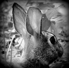Bunny (S.E.A. Photography) Tags: blackandwhite ontario canada cute rabbit bunny nature animals photography spring wildlife