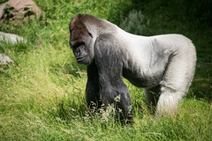 2016-06-16-11h12m52.BL7R9786 (A.J. Haverkamp) Tags: canonef100400mmf4556lisiiusmlens rotterdam zoo dierentuin blijdorp diergaardeblijdorp httpwwwdiergaardeblijdorpnl gorilla westelijkelaaglandgorilla bokito dob14031996 pobberlingermany
