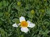 Californian tree poppy (Romneya coulteri) (Charos Pix) Tags: white textures poppy californianpoppy coulter purewhite bushpoppy canyonpoppy matijilapoppy