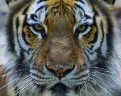 Lost in his gaze (ucumari photography) Tags: orange male green animal june mammal fly nc eyes stripes tiger north greensboro whiskers bigcat carolina axl 2016 specanimal ucumariphotography dsc6384 greensborosciencecenter