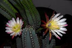 ER 160624 (3) (Paolo Bonassin) Tags: flowers cactus cactaceae cereus succulente cereusperuvianus cactacee