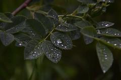 raindrops.. (tanjaettl) Tags: grn bltter wassertropfen nass