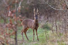 _W9H5945 (asbimages.co.uk) Tags: uk nature animal wildlife c deer roe roedeer capreoluscapreolus