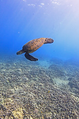 turtle and coral (bluewavechris) Tags: ocean life blue sea brown green nature water animal coral swim canon hawaii marine underwater snorkel turtle reptile wildlife dive shell maui reef creature flipper 1022 t1i