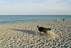 The Creation of a Sandstorm (Midnight and me) Tags: ocean beach sand running frisbee dogbeach beachboys brianwilson standardpoodle doitagain flyingsand blinkagain midnightandme