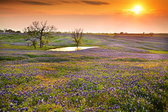 Bluebonnet Sunset by the Lake (Oilfighter) Tags: flowers blue sunset yellow canon dallas spring texas houston bluebonnet ennis llens 24105mmf4 5dmarkii leefilterpurplehillsunset