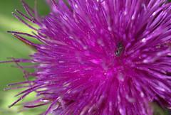 ma che insetto c'è??? (voyager7000) Tags: sardegna macro sardinia natura fiori prato insetti nuxis voyager7000