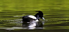 Tufted Duck (Alchimi) Tags: canon 550d alchimiae