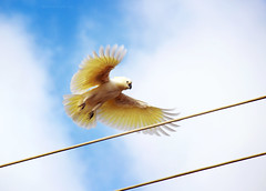 Cockatoo Takeoff (Sparkey Davis) Tags: sky white motion blur bird nature animal yellow clouds evening wings movement wire flight feathers parrot australia victoria powerlines sulphur launch cockatoo crested