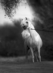 Arabian Horses (HANI AL MAWASH) Tags: art animal photo al kuwait hani  artphoto      animalkingdomelite mywinners  aplusphoto kuwaitphoto   almawash almwash kuwaitartphoto kuwaitart  mawash