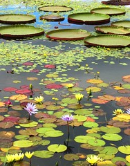 Lily Pads II (Cher12861) Tags: flowers summer nature water beauty yellow garden landscape purple waterlilies garfieldparkconservatory chicagoillinois waterlilys lilypods fromthearchivesfromseptember2011