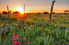 Texas Wildflowers at Sunset (Ronnie Wiggin) Tags: flowers trees sunset usa nature sunrise fence landscape spring nikon gate texas country wildflowers bluebonnets springtime fenceline d300 bloomingflowers texasbluebonnets nikond300 rwigginphotos ronniewiggin ronniewiggin