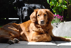 Dogs are good, time to clean & cook (Odilady) Tags: dog flatcoat flatcoats wi indi toller flatcoatedretriever tjuli
