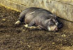 Naptime after playing tag with the horses (alan shapiro photography) Tags: barn pig farm farmanimal 2012 alanshapiro smilingpig sleepingpig momentsoftruth ashapiro515 pigsmiling alanshapirophotography pigdreaminghappydreams