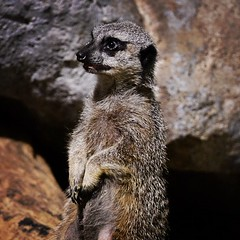 Meerkat (Jason A. Howie) Tags: philadelphia animals square zoo meerkat nikon lofi squareformat creativecommons philly philadelphiazoo iphoneography d3100 instagramapp uploaded:by=instagram
