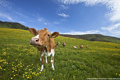Cow in Mýrdalur, south Iceland (skarpi - www.skarpi.is) Tags: blue summer green grass june island cow iceland farm south farming bluesky vik bovine sumar ísland 2012 kú kýr mýrdalur landbúnaður nautgripir