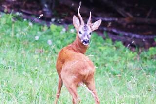 Roe deer Chevreuil in Swiss Prealps