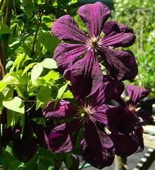 Clematis (Dora 139) Tags: flowers clematis blumen