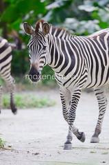 Zebra (myu) Tags: nature animals zoo singapore wildlife creatures mammals reserves mandai
