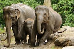 Olifanten (K.Verhulst) Tags: rotterdam blijdorp elephants nl olifant blijdorpzoo olifanten diergaardeblijdorp rotterdamzoo aziatischeolifant asiaticelephants