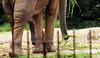 6 apoios ou 2 trombas (pra qualquer entendedor...) (Johnny Photofucker) Tags: elefante elephant tromba pau dick pênis pinto cock pata sexo sex zoo zoológico zoologic paquiderme caralho cazzo pene animal animale