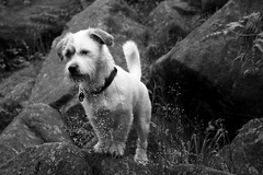 As much (raw.tism) Tags: uk bw dog white black west cute canon jack 50mm russell sweet yorkshire lola shitzu otley chevin 400d