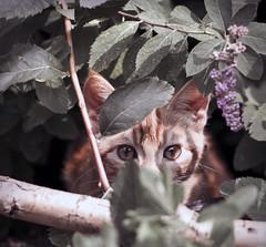 leo1 (roy costello) Tags: cats animals delete10 delete9 delete5 delete2 kitten delete6 delete7 wildlife delete8 delete3 delete delete4 save d90