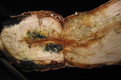 Botryodiplodia infected cassava root (IITA Image Library) Tags: infection cassava manihotesculenta botryodiplodia