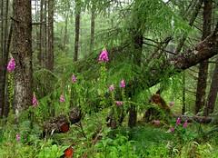 ScottishFoxglove-TheHeartSoother (BphotoR) Tags: summer forest scotland highlands heart sommer july powershot digitalis foxglove wald carron fingerhut soother supershot abigfave bphotor