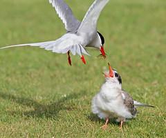Alimentado a la cria (vic_206) Tags: fish pez bird iceland islandia flight pajaro alimentando cria juvenil volando artictern charránártico canoneos7d articternchick canon300f4lis14xii