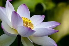 Lotus=Summer (dK.i photography) Tags: pink light flower yellow closeup washingtondc lotus bokeh pastel maryland marsh lavendar kenilworthaquaticgardens ef100400mmf4556lisusm bwcpl canon5dmkii