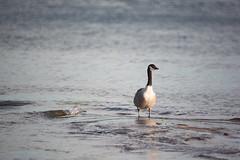 Goose (Antti Tassberg) Tags: bird espoo finland europe bokeh eu goose hanhi mf scandinavia canadagoose brantacanadensis lintu uusimaa 600mm kanadanhanhi sigma600mmf8mirror mirrorreflexlens