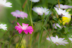 Flowers (Steve-h) Tags: pink flowers ireland dublin white green art tourism nature leaves yellow daisies photoshop canon garden eos design europe riverside zoom suburban south blossoms tourists adobe stems buds recreation aerlingus mixture lightroom aperturepriority steveh canonef100400mmf4556lisusm topshots riverdodder 100mm400mm natureselegantshots panoramafotogrfico canoneos5dmkii multisegmentmetering canoneos5dmk2 theoriginalgoldseal lightroom4 rememberthatmomentlevel4 rememberthatmomentlevel1 rememberthatmomentlevel2 rememberthatmomentlevel3 rememberthatmomentlevel7 rememberthatmomentlevel9 rememberthatmomentlevel5 rememberthatmomentlevel6 rememberthatmomentlevel8 rememberthatmomentlevel10