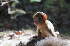 Berberaffe (Macaca sylvanus) (hellboy2503) Tags: portrait nature animal animals canon germany deutschland photography tiere photo natur images 7d getty grn creatures landschaft weiss 70200 apes luft fell tier vogel gettyimages jrg affen kreatur nachwuchs 100400 junges berberaffen thegalaxy gettyimagescallforartists gettyimagesartistpicks hellboy2503 rememberthatmomentlevel1 rememberthatmomentlevel2