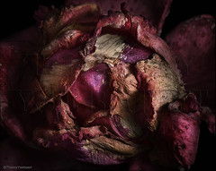 A tragic beauty (thierry.ysebaert) Tags: pink red roses flower detail art nature rose closeup rouge flora nikon erotic colours artistic decay roos romantic antwerp rood rozen thierry darkart erotique deterioration darkandlight vervallen dyingroses doderoos ysebaert thierryysebaert rozenfotos ysebaertthierry vervallenrozen roosinverval rozenfotografie rozenfoto httpuserstelenetbethierryysebaertrozen2rozen2nlhtm rozeninverval httpuserstelenetbethierryysebaertrozen3rozen3nlhtm autumndyingroses rosesindecay