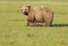 Brown Bear Cub Wants to Play (Glatz Nature Photography) Tags: nature alaska cub wildlife grizzly predator playful brownbear bearcub motherandbaby ursusarctos grizzlybear cookinlet babyanimals lakeclarknationalpark highqualityanimals