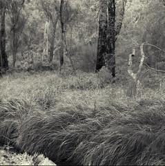 (Andreas Lienemann) Tags: trees bw 6x6 australia wa mamiya6 trix400 150mm kalamunda utatafeature