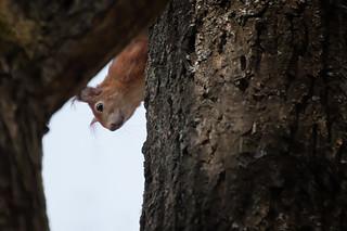 Eichhörnchen, NGID205282252