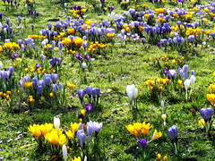 It's Springtime! Colourful Crocus field (shes_so_high) Tags: nature field sunshine spring colorful crocus