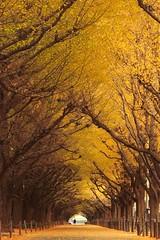 Деревья гинкго, Япония