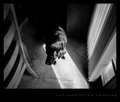 hershey in the sunlight (contemplative imaging) Tags: bw usa dog art monochrome modern digital america photography photo blackwhite illinois spring midwest lab warm labrador day image artistic photos contemporary fine photojournalism saturday canine olympus monotone images retriever il clear ill american april editorial hershey imaging journalism 43 ep2 2014 midwestern mchenrycounty fourthirds contemplativeimaging ronzack olymz1442v1 20140419 cimisc20140419ep2