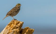 Savannah Sparrow (Passerculus sandwichensis) - Point Roberts, WA (bcbirdergirl) Tags: usa driftwood pacificocean wa washingtonstate pointroberts lighthousepark savannahsparrow passerculussandwichensis