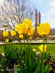 Sivas'ta Bahar (Ahmet POLAT) Tags: green yellow day tulips sunny tulip ifteminare bahar yeil sar sivas lale gneli laleler ywlloe