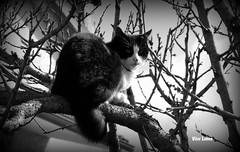 Gato tarzan (verridrio) Tags: bw white black tree monochrome animal branco fauna cat mono chat noir sony negro preto gato bianco blanc nero monocromatico hellopussycat