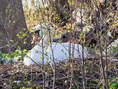 EM1A1739 (Bengt Nyman) Tags: birds sweden stockholm may vaxholm 2016