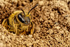 Nesting Miner Bee (Dalantech) Tags: macro insect bee nesting topaz macrophotography minerbee topazlabs