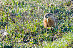 Serious (Alothan) Tags: ontario canada grass outside mammal outdoors spring furry wildlife woodchuck groundhog thunderbay