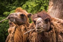 Trampeltier - Serie (Dagmar' s Fotos) Tags: animal zoo tiere zoom tier bactriancamel trampeltier