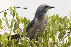 resHI 0909 Fl Scrub Jay (annSatt) Tags: jay scrubjay floridascrubjay