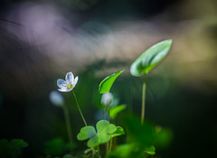 IMG_7525 (andreassofus) Tags: light sunlight flower macro green nature floral spring sweden bokeh